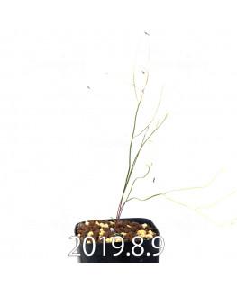 エリオスペルマム ポルフィロウァルウェ EQ732 実生 13489