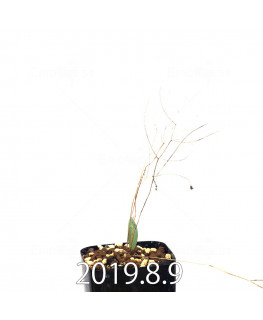 Eriospermum porphyrovalve エリオスペルマム ポルフィロウァルウェ EQ732  13490