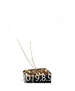 エリオスペルマム ポルフィロウァルウェ EQ732 実生 13491