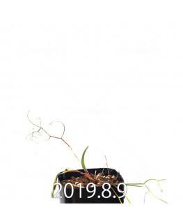エリオスペルマム ポルフィロウァルウェ EQ732 実生 13493