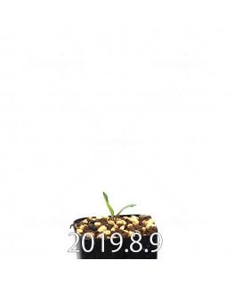 エリオスペルマム ポルフィロウァルウェ EQ732 実生 13499