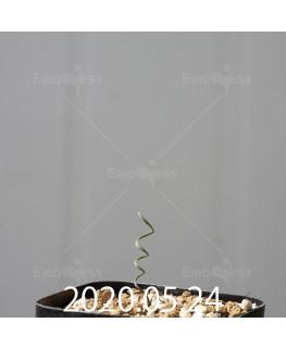 キルタンサス ヘリクタス EQ741 実生 13569