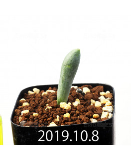 Albuca unifoliata アルブカ ウニフォリアータ EQ813  13651