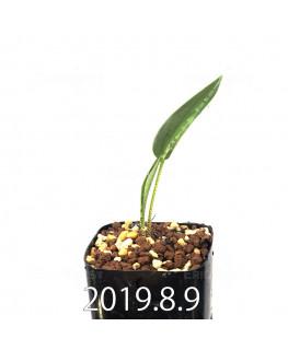 ドリミオプシス アトロプルプレア EQ756 実生 13857
