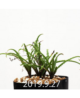 レデボウリア クリスパ 小型 子株 13888