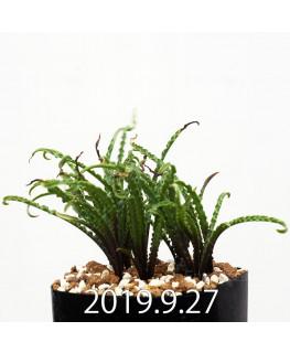 レデボウリア クリスパ 小型 子株 13895