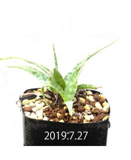 レデボウリア sp. IB13583 子株 13946