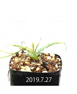レデボウリア sp. IB13583 子株 13947
