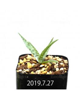 レデボウリア sp. IB13583 子株 13948