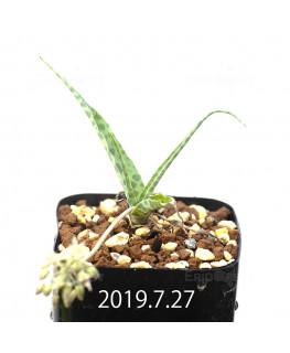 レデボウリア sp. IB13583 子株 13949
