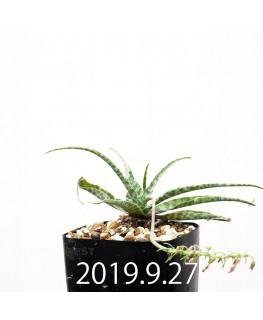 レデボウリア sp. IB13583 子株 13955