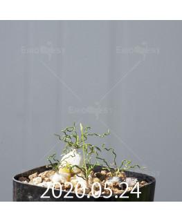 オーニソガラム トルツオスム DMC13646 子株 14585