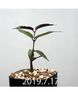 ペトペンチア ナタレンシス EQ767 実生 14746