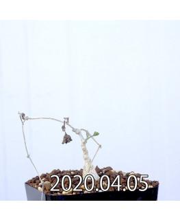 Ibervillea sonorensis イベルビレア ソノレンシス EQ774  14850