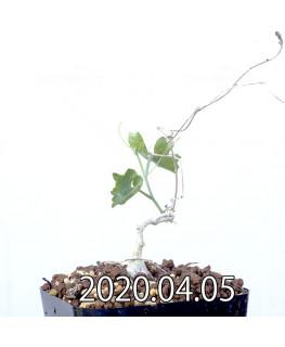 イベルビレア ソノレンシス EQ774 実生 14856