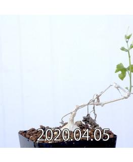Ibervillea sonorensis イベルビレア ソノレンシス EQ774  14857