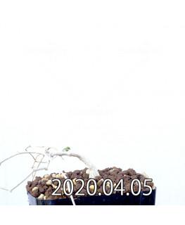 イベルビレア ソノレンシス EQ774 実生 14861