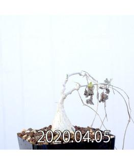 Ibervillea sonorensis イベルビレア ソノレンシス EQ774  14864