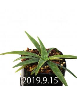 レデボウリア レボルタ JAA1622 実生 14886