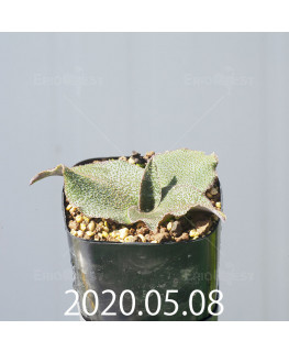 レデボウリア オヴァティフローラ スカブリダ変種 実生 14918
