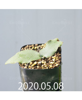 レデボウリア オヴァティフローラ スカブリダ変種 実生 14919