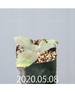 レデボウリア オヴァティフローラ スカブリダ変種 実生 14921
