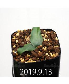 レデボウリア オヴァティフローラ スカブリダ変種 実生 14922