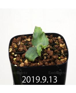 レデボウリア オヴァティフローラ スカブリダ変種 実生 14923