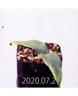 レデボウリア オヴァティフローラ スカブリダ変種 実生 14927