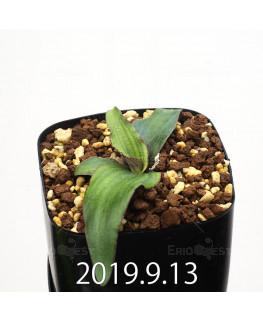 レデボウリア オヴァティフローラ スカブリダ変種 実生 14930