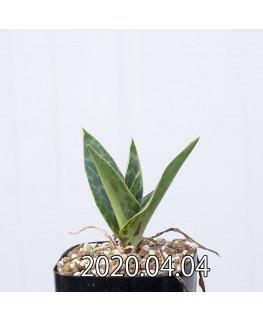 レデボウリア レボルタ EQ780 実生 15072