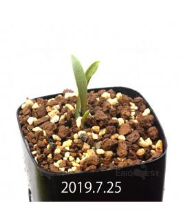 レデボウリア レボルタ EQ780 実生 15073