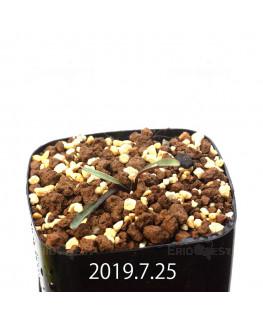 レデボウリア レボルタ EQ780 実生 15076