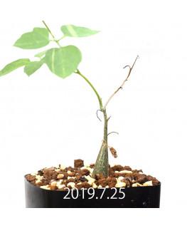 モモルディカ ロストラータ EQ783 実生 15106