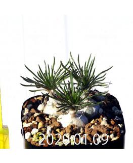 Ornithogalum sp. オーニソガラム 未識別種 EQ615  15359