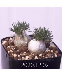 Ornithogalum sp. オーニソガラム 未識別種 EQ615  15371