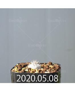 パキポディウム デンシフローラム 実生 15596