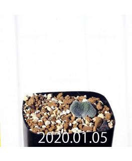 エリオスペルマム ドレゲイ IB13772 実生 15682