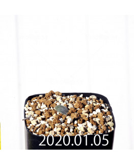 エリオスペルマム ドレゲイ IB13772 実生 15683