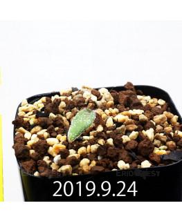 エリオスペルマム ドレゲイ IB13772 実生 15684