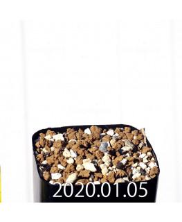エリオスペルマム ドレゲイ IB13772 実生 15692