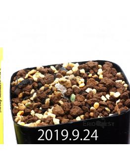 エリオスペルマム ドレゲイ IB13772 実生 15698