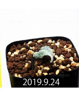 エリオスペルマム ドレゲイ IB13772 実生 15701