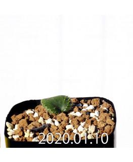 エリオスペルマム エリヌム EQ808 実生 16043