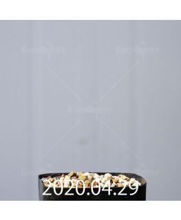ドリミア プラティフィラ EQ395 実生 16210