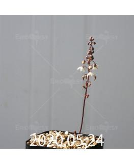 ドリミア プラティフィラ EQ395 実生 16220