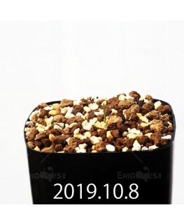 エリオスペルマム アフィルム EQ810 実生 16282