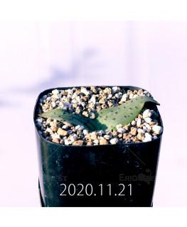 ラケナリア ネルボーサ JAA1448 実生 16291