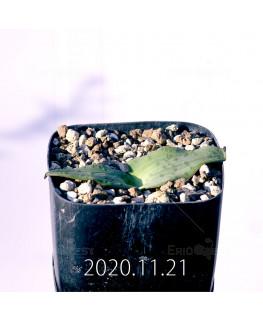 ラケナリア ネルボーサ JAA1448 実生 16293