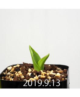 ラケナリア ネルボーサ JAA1448 実生 16296